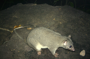 © AWC - This is the first Wyulda (Scaly-tailed Possum) ever recorded in the Northern Territory, representing a significant range extension for this species.