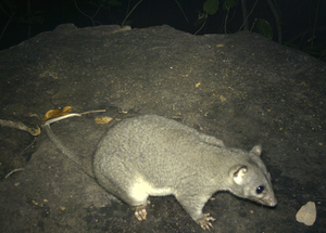 © Brad Leue/AWC - This camera trap image is the first evidence of Wyulda in the NT.