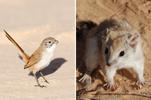 ©AWC - Kalamurina is home to a suite of rare and declining species such as the Eyrean Grasswren (left) and Crest-tailed Mulgara (right).