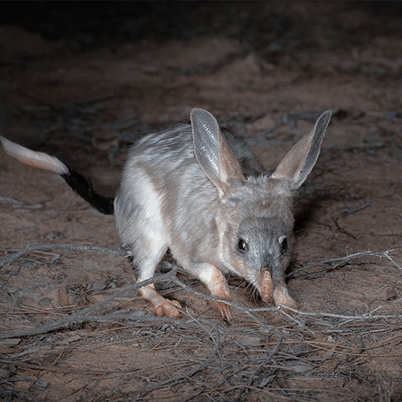 Iconic Bilbies return to New South Wales National Parks
