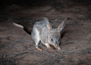 © Brad Leue/AWC - Bilbies were released into a feral predator-free area in the Pilliga in December 2018, more than a century after the species were last spotted in the wild in NSW.