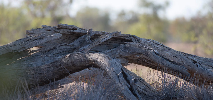 Bearded Dragon at Bowra Wildlife Sanctuary, fitted with a GPS-enabled backpack which can record its precise movements.