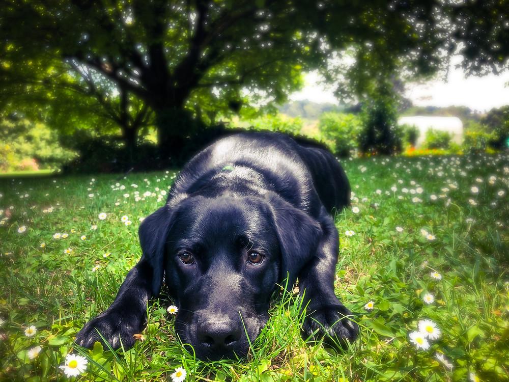 Black Labrador lying in the grass