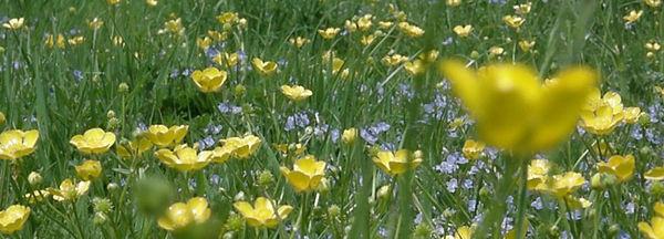 buttercups[1].jpg