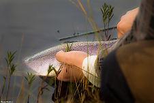 Fisk_läggs_i_vatten.jpg