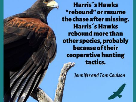 Harris´s Hawks intelligence