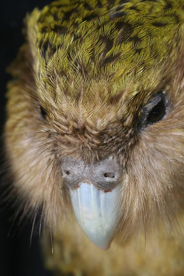 New_Zealand_Kakapo_Felix.jpg