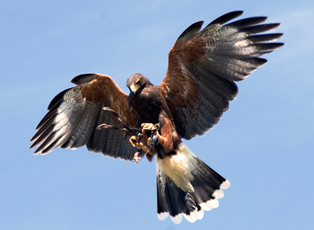 The dangers of hunting squirrels with a Harris Hawk