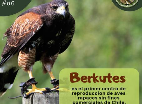 Berkutes, el primer centro de reproducción de aves rapaces sin fines comerciales de Chile