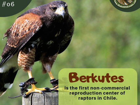 Berkutes, the first non-commercial reproduction center of raptors in Chile