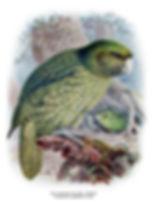 Buller_Kakapo.jpg