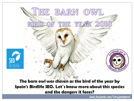 The bird of the year: The barn owl