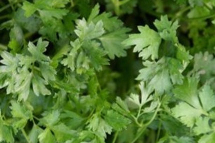 Parsley (Giant of Italy)