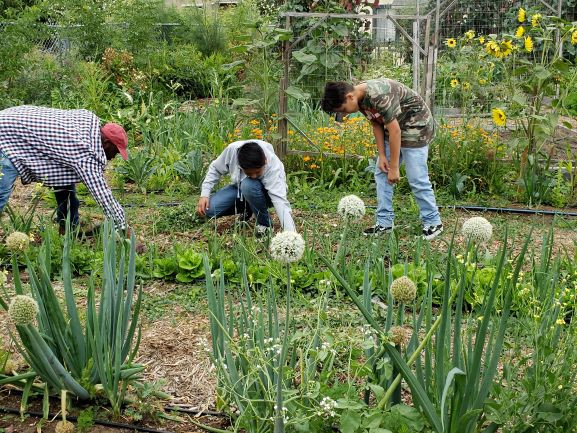 Volunteers harvesting crops at Dig Deep Farms