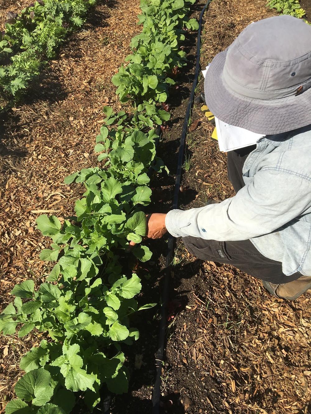 Intern tending to vegetable crops