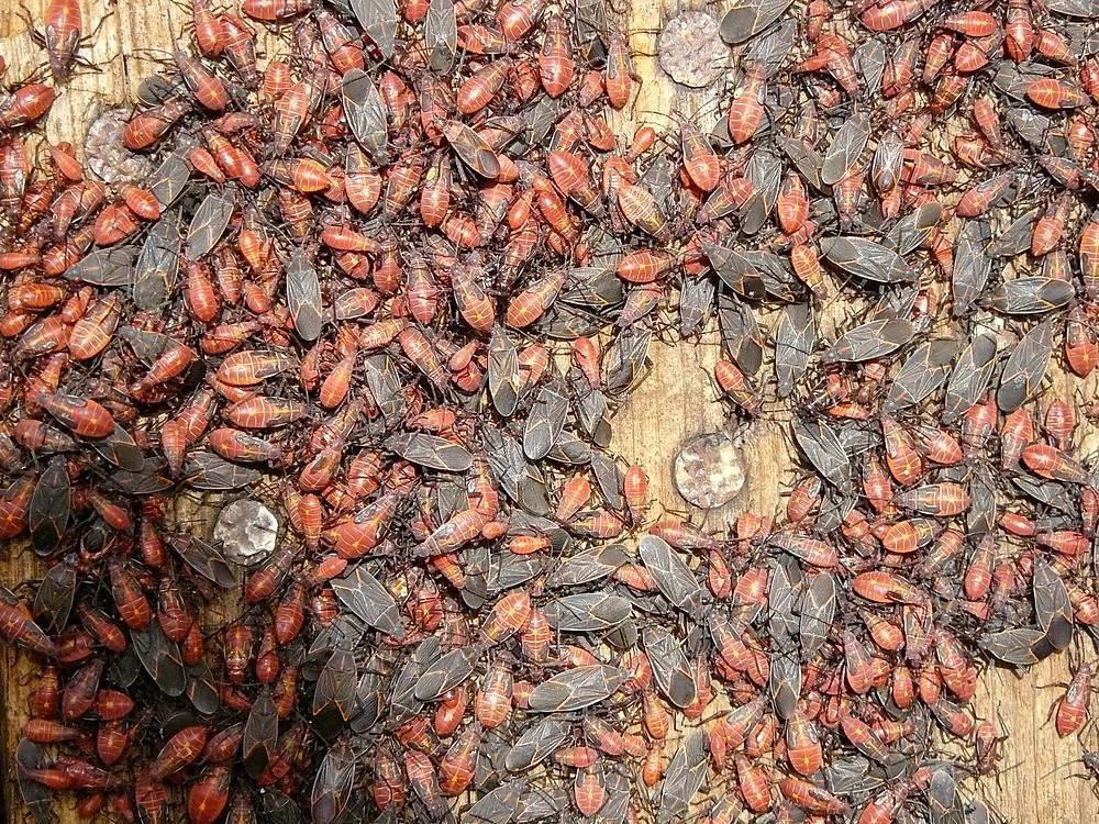Box Elder Bugs in large quantities
