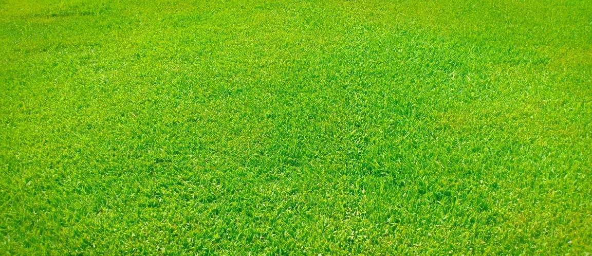 Paspalam grass