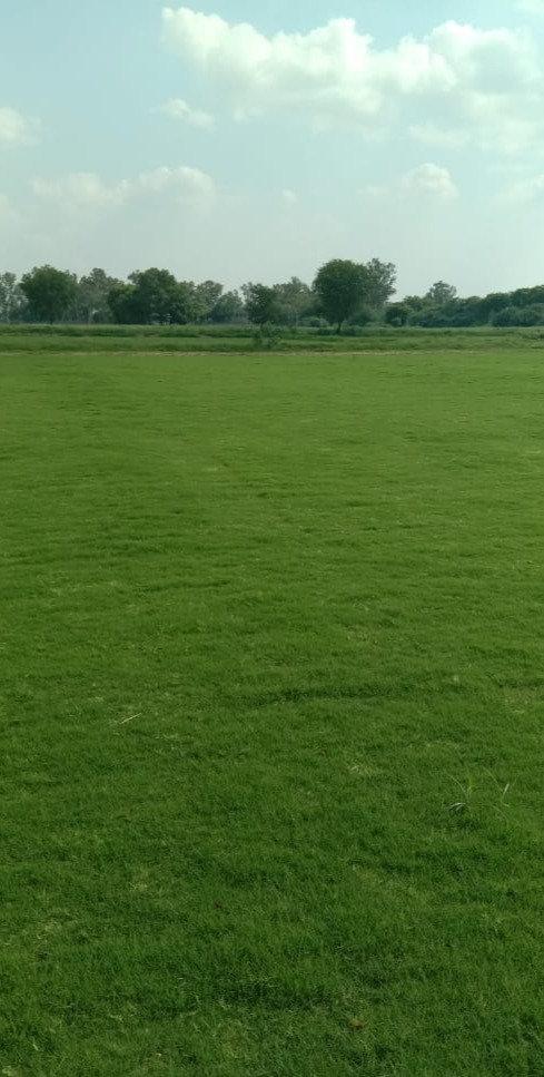 Tiff-419 Grass