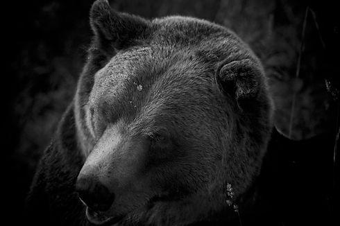 Portrait of a Bear, © Gillian Smith-Clark, amodernportrait.com