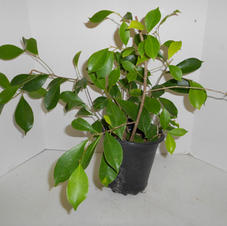 #1034 Ficus