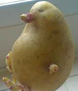 Platypus Potato