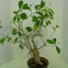 #1033 Bonsai Ficus