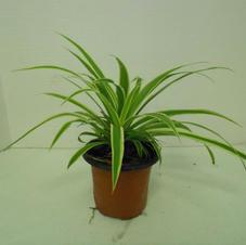 #1001  Spider Plant