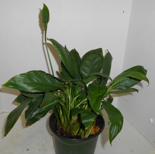 #1026 Peace Lily