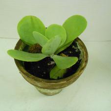 #1013 Paddle Plant