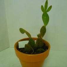 #1028 Prickly Pear Cactus
