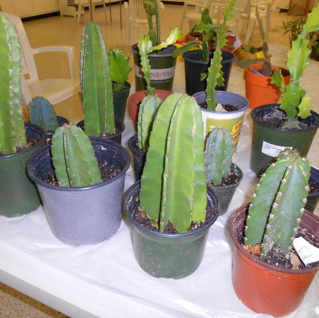 #1043 Hedgehog Cactus
