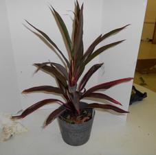 #1036 Ti Plant