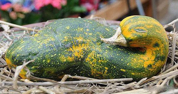 A Duck?  NO! A Gourd!