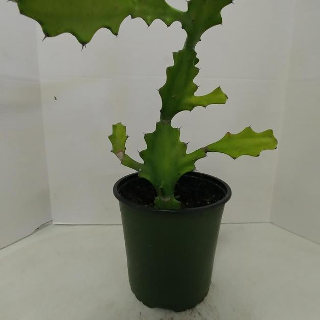 #1030 Candleabra Cactus