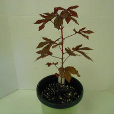#3005 Cranberry Hibiscus