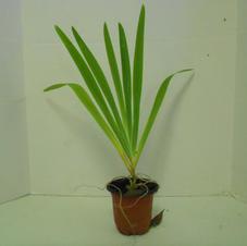 #1002  Blackberry Lily