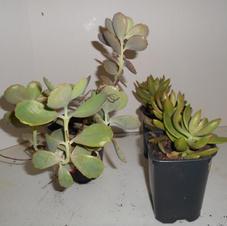 #1046 3 succulents