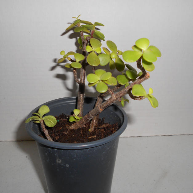 #1016 Jade Plant