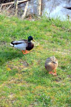 Mr & MRs Duck.JPG