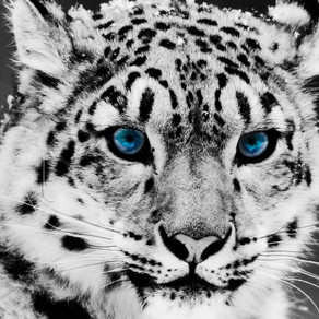 Snow Leopards – Endangered or Vulnerable?