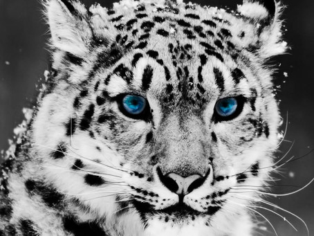 Snow Leopards – Endangered or Vulnerable?