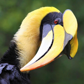 The Great Hornbill - Bhutan's Fig Loving King of the Forest