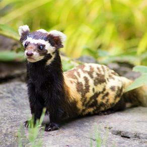 The Gobi's Marbled Polecat - A Ferret in Fancy Dress?