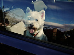 BC SPCA receives more than 600 rescue callouts for pets left in sweltering cars