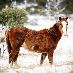 Kosciuszko Photo Tour Brumby in snow