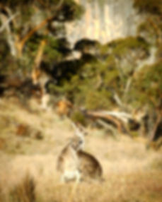 Kosciuszko Photo Tour wallabies