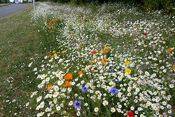 Hunstanton Oasis Way Wildflowers 1.JPG