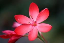 KAFFIR LILY RED (2)