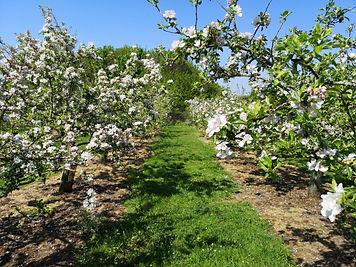 Fladbury Blossom.jpg