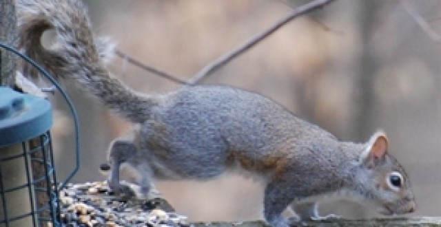 grey squirrel by bird feeder